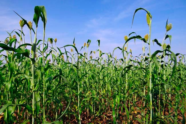 Plantação do produto agrícola sorgo